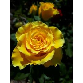 نهال گل رز زرد هلندی