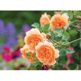 نهال گل رز تولایت