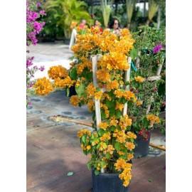نهال گل کاغذی نارنجی