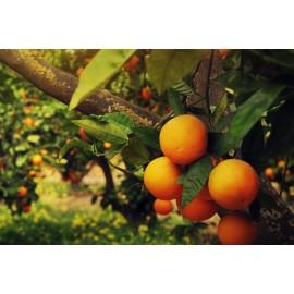 نهال پرتقال تابستانه لبنانی