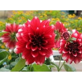 بوته گل کوکب قرمز-سفید هلندی