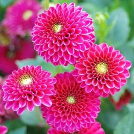 بوته گل کوکب صورتی ژاپنی