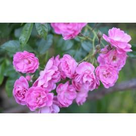 نهال گل رز خوشهای صورتی