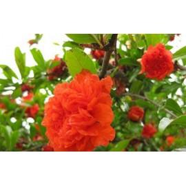 نهال گل گلنار