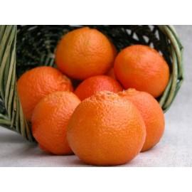 نهال نارنگی پچ پاکوتاه