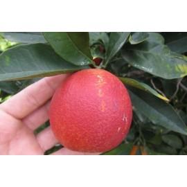 نهال پرتقال قرمز خونی استرالیایی
