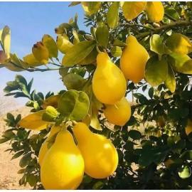 نهال لیمو ترش گلابی