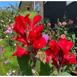بوته اختر قرمز (Canna Lilies)