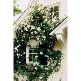 نهال گل رز رونده سفید انگلیسی چهار فصل