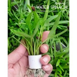 بذر اسفناج آبی (water spinach)