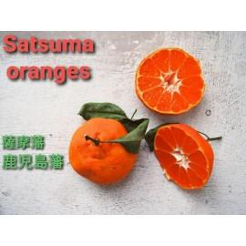 نهال نارنگی ساتسوما ژاپنی