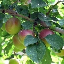 نهال میوه تنسگل