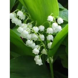 بوته گل موگه Lily of the valley