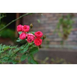 نهال گل رز رونده 4 فصل