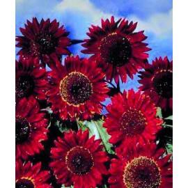 بذر آفتابگردان زینتی پابلند قرمز