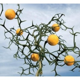 نهال نارنج اژدها