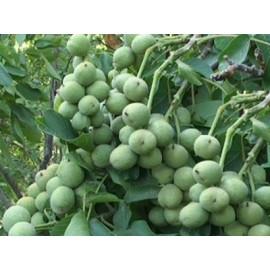 بذر گردو خوشه ای پر محصول