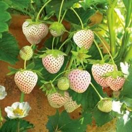 نهال توت فرنگی سفید (پاین بری)
