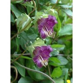 بذر پیچک رونده استکانی (Cobaea scandens)