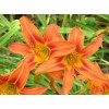 بوته زنبق رشتی  -  COMMON DAYLILY