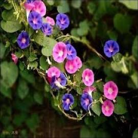 بذر گل نیلوفر پاکوتاه سه رنگ