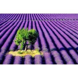بذر اسطوخدوس فرانسوی ( French lavender )