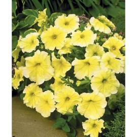 بذر اطلسی زرد سان ساین ( Petunia Grandiflora Sunshine )