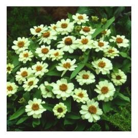 بذر آهار پرگل سفید