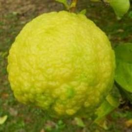 نهال راف لمون (Rough lemon)