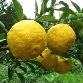 نهال نارنگی یوزو