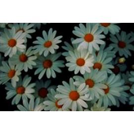 بذر گل مینا (Oxeye daisy)