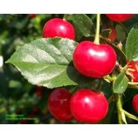 نهال آلبالو مجلسی (Sour Cherry)