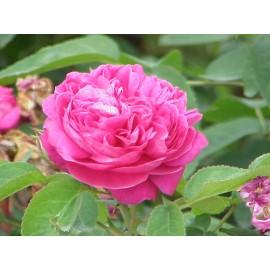 بوته گل محمدی