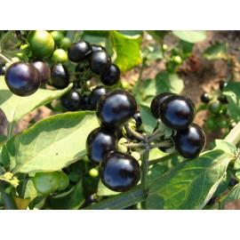 بذر سولانوم باربنکی sunberry
