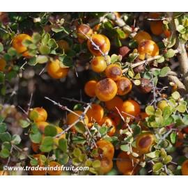نهال پرتقال خاردار