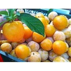 نهال آلو قطره طلا (Mirabelle plum)