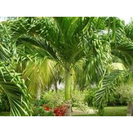 بذر نخل کریسمس (Christmas Palm)