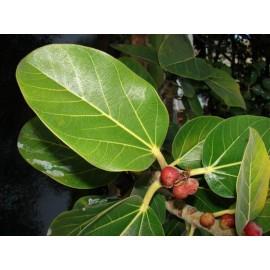 بذر انجیر هندی  ( Bengal Fig )