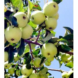نهال سیب ترش سبز جنگلی