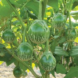 بذر بادمجان آبلونگ