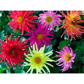 بذر گل کوکب کاکتوسی الوان
