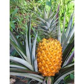 نهال آناناس گلدن جیانت (غول)