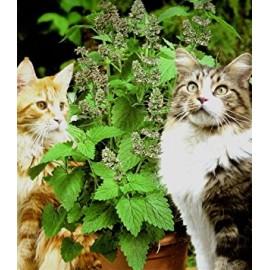 بذر نعناع گربه اي (Catmint)