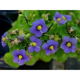 بذر بنفشه ایرانی (Persian violet)