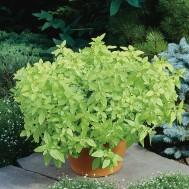 بذر گیاه خوشبوی مرزنجوش ماجور Origanum majorana