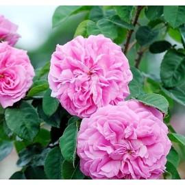 بوته گل محمدی بدون خار