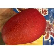 نهال انبه قرمز ژاپنی (گرانترین میوه در ژاپن)