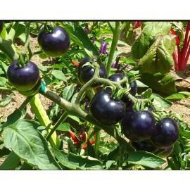 بذر گوجه سیاه ویتنامی