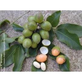 نهال لیمو ترش اسپانیایی بالغ