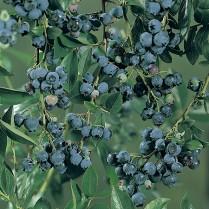 بذر بلوبری گلد تراپ - Blueberry Goldtraube